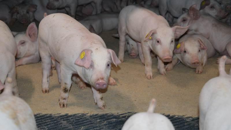 Dyrlægerne i en erfaringsindsamling foretaget af Seges Svineproduktion, Den rullende Afprøvning, tilkendegiver at de er åbne for vaccinationsmulighederne mod fravænningsdiarré, men påpeger også, at der er flere faktorer, der skal inkluderes i den enkelte besætning for, at grisen får den bedst mulige fravænning uden store problemer med diarré. Arkivfoto: Camilla Bønløkke