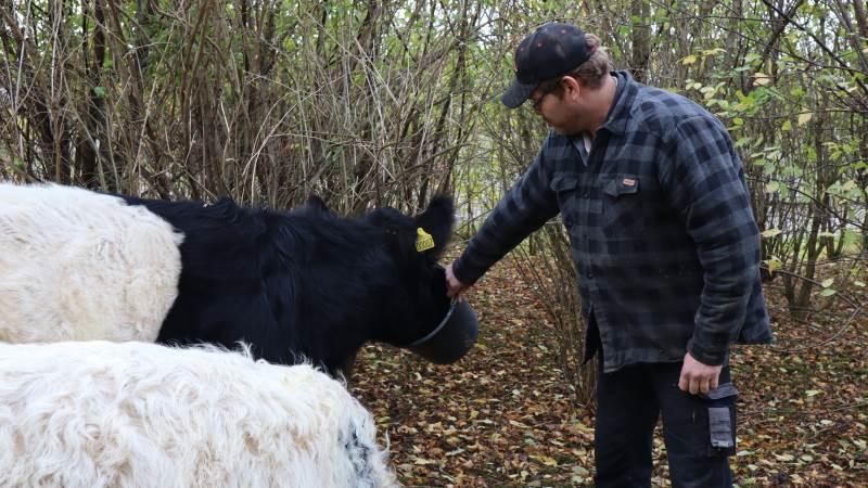 Der kan komme flere arealer omkring kvæg som disse i fremtiden, hvis det bliver lettere at få støtte til områder med træer på en landbrugsejendom. Arkivfoto: Michael Strandfelt.
