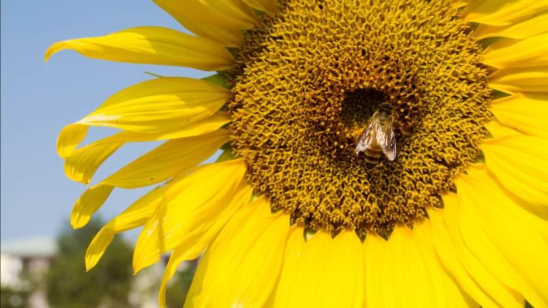 Bier er blevet en truet dyreart. Og det kan blive et stort problem for vores landbrug, hvis de ikke er med til at bestøve afgrøderne. Foto: Colourbox