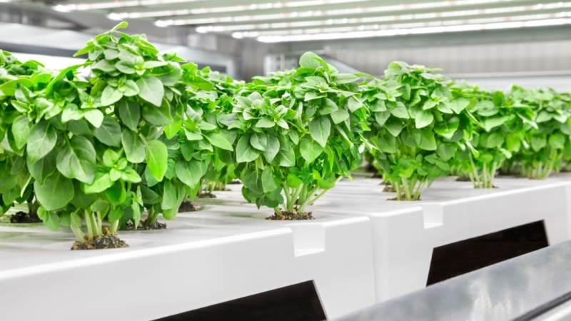 Når dyrkningscentret i Greve står færdigt, er målsætningen, at der skal kunne produceres 11 millioner planter om året. Foto: Infarm