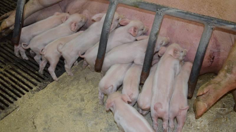 - Det hele handler om at gøre grisen så stærk, robust og sund til fravænning som muligt, hvilket starter med råmælken, lyder budskabet i et nyhedsbrev fra LVK Svinedyrlægerne. Arkivfoto: Camilla Bønløkke