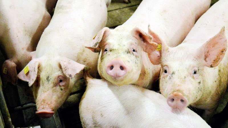 Både slagtesvineproducenten og leverandøren af smågrisene skal give samtykke, før bonuspoint kan blive beregnet. Seges Svineproduktion minder om, at deadline for samtykkeerklæring til bonuskontoen nærmer sig. Arkivfoto: Camilla Bønløkke