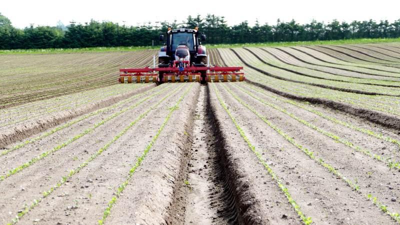 Siden 1955 har DanRoots dyrket rodfrugter, og idag tæller sortimentet et udvalg af gulerødder, pastinakker, persillerødder og rødbeder. Fotos: Bøje Østerlund
