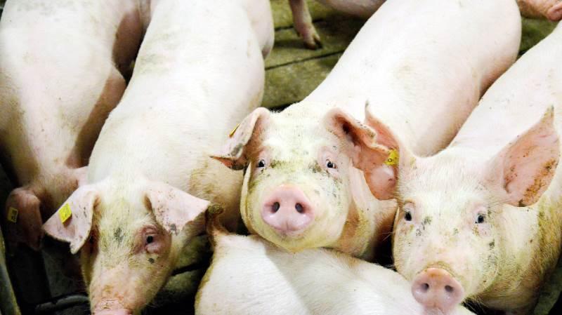 Det er kun ti uger siden, at noteringen for slagtesvin var to kroner kiloet højere end de nuværende 8.70 kroner.