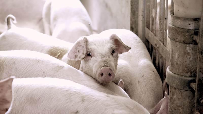 Den danske eksport af svinekød røg over en million tons i første halvdel af 2021, viser nye tal.
