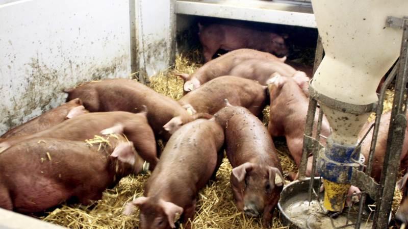 En af Idavangs farme blev ramt af afrikansk svinepest i 2014 og måtte også dengang slå 20.000 svin ned. Foto: Jørgen P. Jensen