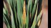 I de fleste marker ses forholdsvis lidt Septoria på de nedre blade. Her ses dog højtsiddende Septoria på nedre blad i tidligt sået hvede fotograferet ultimo april.  Foto: Ghita Cordsen Nielsen
