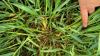 Man kan tydeligt se, hvordan hybridrug udsået med lavt plantetal virkelig kan udviklede mange sideskud hen over efteråret – her i alt 11-12 sideskud pr. plante. Fotos: Nordic Seed.