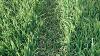 Sprøjtespor med bygplanter i bunden.  Ved at så normalt også i sprøjtesporet undgår den irske landmand Louis McAuley, at græsukrudt får fodfæste. Foto: Louis McAuley