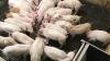 4-5 kg's grise i en almindelig to-klimasti med 30 stk. Grisene modtager både opblødt foder og samme tørfoder i foderautomat, og strategien er ifølge Aloys Laue ens for hjemmeblandere og færdigfoderkunder. Foto: Aloys Laue