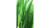 Skoldplet i vinterbygsorten Neptun i registreringsnettet ved Ringsted fotograferet 17. maj af Irene Skovby Rasmussen, VKST. Skoldplet kunne ses på 3. øverste blad på mange af planterne og i enkelte tilfælde også på 2. øverste blad.