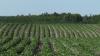 Her i det midtjyske kartoffelområde er en del marker allerede langt fremme, mens andre marker ikke var tjenlige til lægning før maj måneds voldsomme regnmængder stilnede af. Fotos: Bøje Østerlund.