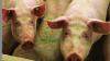 I besætninger, hvor der anvendes hormonel brunstsynkronisering af sopoltene, opnår man i gennemsnit 0,3 levendefødt gris ekstra i første kuld. Det gælder uanset, om der bruges indkøbte polte eller polte af egen avl. Foto: Danvet Research.