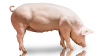 Foto: Danish Pig genetics