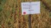 Mange grønne hvedeplanter tilbage efter nedvisning med den meget lave dosering af glyphosat uden brug af additiver.