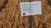 Tilsætning af svovlsur ammoniak + spredeklæbemiddel efterlader ingen grønne hvedeplanter i forsøget.