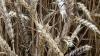 Vinterhvede med overraskende sorte og golde aks. Foto: Hans Jørgen Bak, Agriadvice