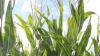 Seges gør et stort stykke arbejde i, gennem Landsforsøgene, at afprøve de forskellige majssorter, der er på markedet. Man bør derfor som udgangspunkt aldrig vælge en sort, der ikke har været afprøvet i hvert fald i to år i Landsforsøgene. Ud fra viden derigennem bør der vælges sorter med en god standfasthed, og altid to til tre sorter, der stabiliserer både udbytte og kvalitet. Arkivfoto