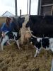 Forsøgsmedarbejder på Camilla Juhl hjælper de to kalve til patterne hos deres nye ammetante. Foto: Mogens Vestergaard, AU