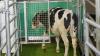 De tyske forskere har publiceret forskningsresultater, der viser, at man med effektivitet kan reducere ammoniakudledning ved at træne køer til at gå på særligt anrettede latriner. Fotos: Leibniz Institute for Farm Animal Biology