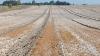 Mark 1: Høstet hvede allerede den 24. juli.