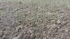 Mark 2: Massiv fremspiring af græsukrudt overalt - også på nye steder. Fotos: Hans Jørgen Bak
