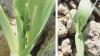 Bladlus i tidligt sået vinterbyg (28/8) i registreringsnettet fotograferet 20. september i år af Martin Clausen, Østdansk Landboforening. Her var flere steder bladlus i hjerteskuddet og kun ganske få vingede bladlus på bladene. Der er 2 procent angrebne planter og 3-4 blade, så her er bekæmpelsesbehov.