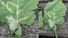 Miner fra kålminerfluens larver i vinterraps fotograferet 21. september  af Knud Ravn Nielsen, Velas. Angreb ses hvert år i flere marker, og bekæmpelse er erfaringsvis ikke nødvendig.